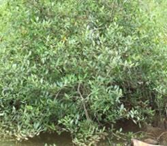 File:Avicennia officinalis 1.jpg